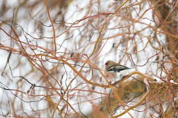 Oiseau pinson dans l'arbre en hiver