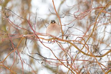 Oiseau pinson des arbres en hiver