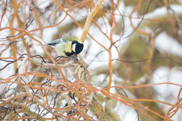 Oiseau mésange charbonnière sur la branche