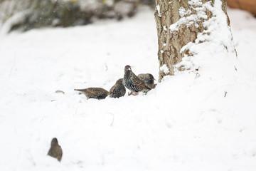 Oiseau Etourneau en hiver