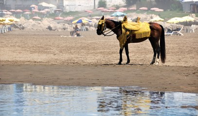 Brown horse standing at the beach of Casablanca