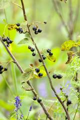 Blackcurrant - Ribes nigrum