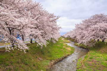 Cherry blossoms and stream