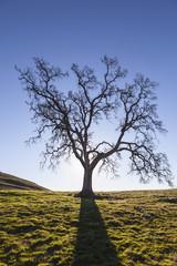 Lone Oak Leafless Silhouette