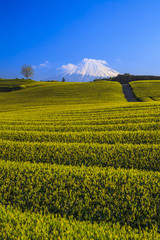 Tea plantation and Mt. Fuji, Shizuoka, Japan