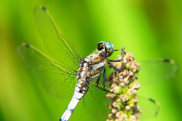 Orthetrum albistylum speciosum, dragonfly