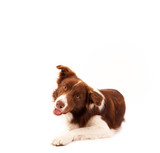 Cute border collie with copy space - 75539963