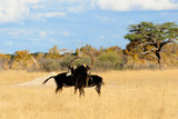 Sable bull contest