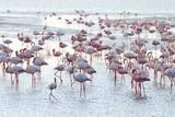 Flamingos (Phoenicopteridae) in Walvisbay