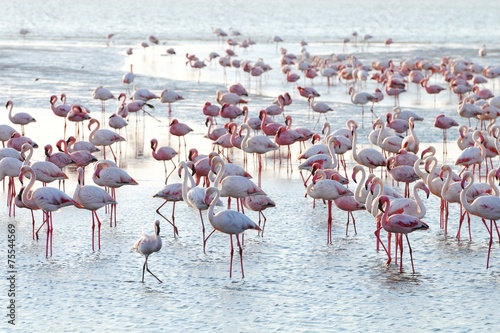 Foto op Canvas Flamingo Flamingos (Phoenicopteridae) in Walvisbay
