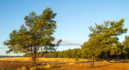 Pine trees in trhe morning light
