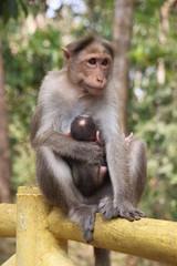 Macaco asiatico 02