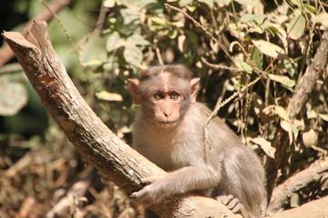 Macaco asiatico 04