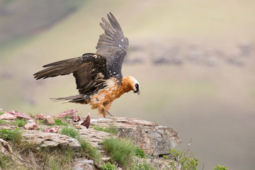 dult bearded vulture landing on rock ledge where bones are avail