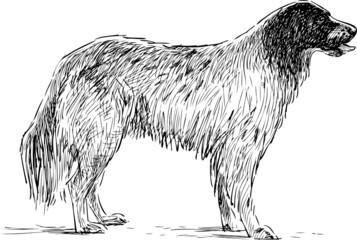 spaniel sketch