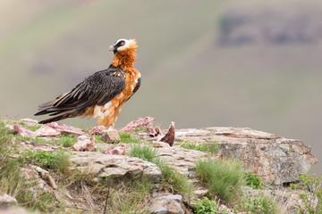 Adult bearded vulture landing on rock ledge where bones are avai