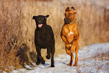 two happy dogs running outdoors