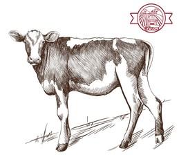 young heifer grazing