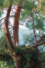Wild goshawk nest with two nestlings on a pine tree