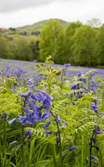 Bluebells in spring, Malvern Hills, Worcestershire