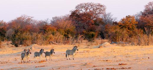 Zebras and autumn trees