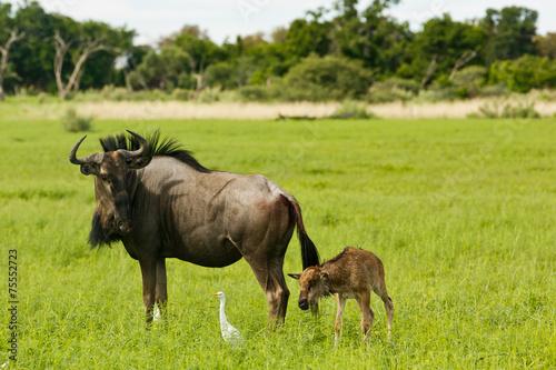 Plexiglas Antilope Gnu mit Kalb