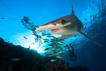 Great Hammerhead shark and school of fish