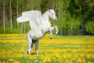 Beautiful white pegasus rearing up on the field with dandelions
