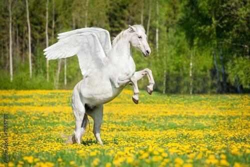 Leinwanddruck Bild Beautiful white pegasus rearing up on the field with dandelions