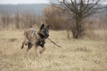 Dog carries a stick