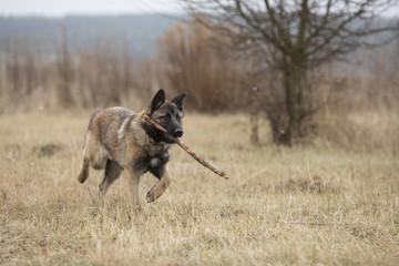 Dog carries a stick