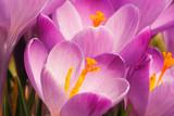 Krokusblüten
