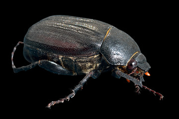 Beetle chafer 2