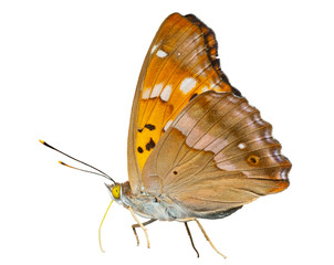 Butterfly (Apatura substituta) 8