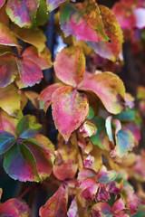 Italy, countryside, autumn leaves (Scaphoideus titanus)
