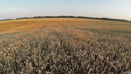 Flight above wheat field, aerial panoramic view
