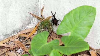 Brown Aphonopelma tarantula at the garden