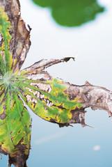 Lotus leaf die