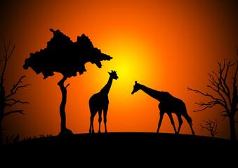 Giraffen - Giraffes