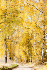 autumnal birch alley