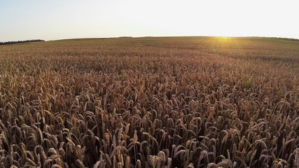 Flight above crop field at sunset, aerial panoramic view