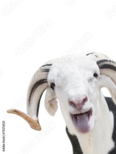 Keuken foto achterwand Schapen Sahelian Ram with a white and black coat, isolated