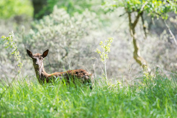 Roe deer standing in high grass