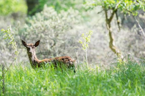 Fotobehang Ree Roe deer standing in high grass