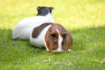 Brown and white Guinea pig eat green grass