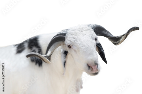 Fotobehang Schapen Sahelian Ram with a white and black coat, isolated
