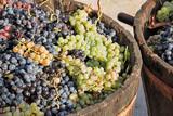 Harvesting grapes - 75581539