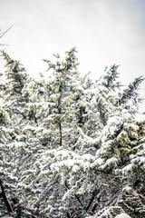 Abete d'inverno