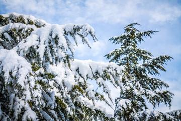 alberi innevati