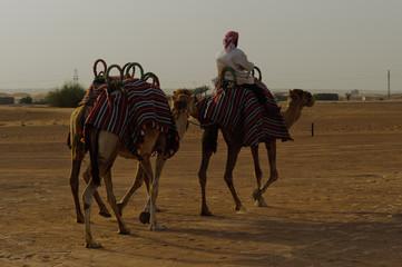 Dubai, cammelli 3